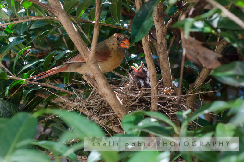 Best Cardinal Nest Photos-29