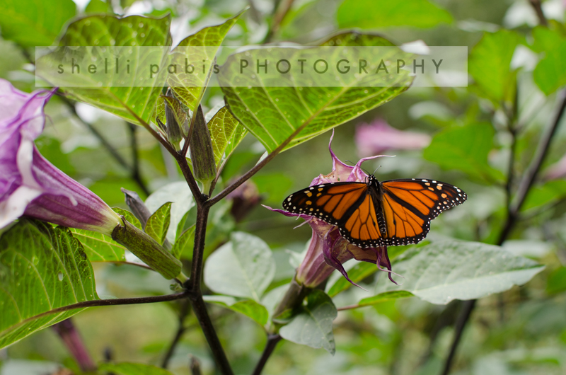 migrating monarch-1